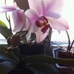 orkidéer hemma