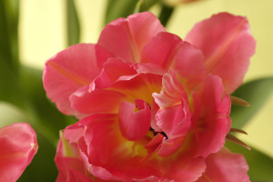 inred-med-rosa